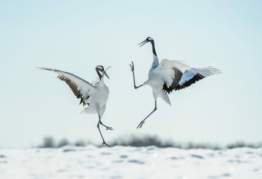 Two Japanese red crown cranes leaping and dancing performing their mating courtship ritual in the snow in Winter